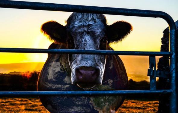 cowspiracy.com_